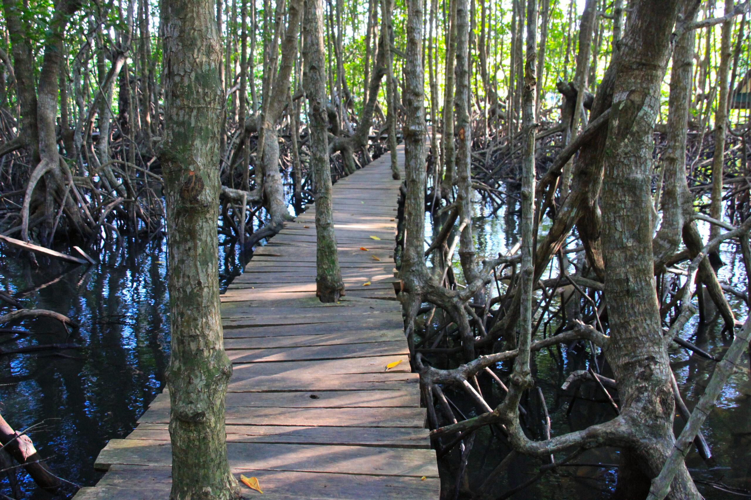 Mangroven Koh Kong steg