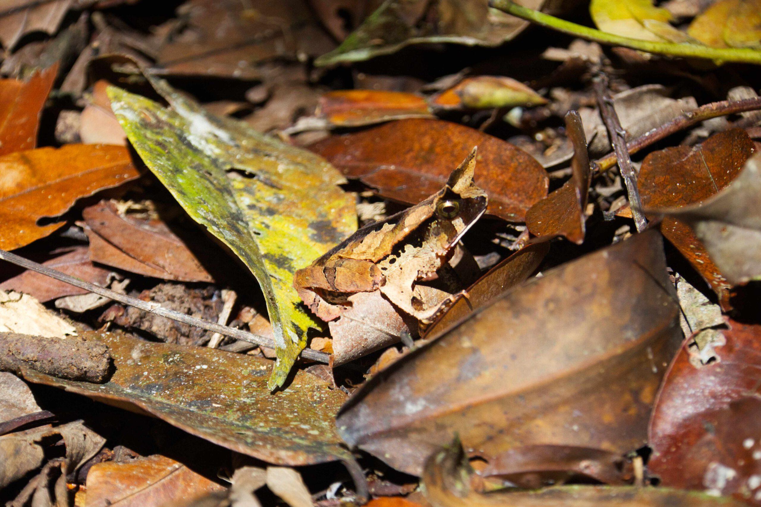Frosch mit guter Tarnung, Cuyabeno Ecuador, Blätter