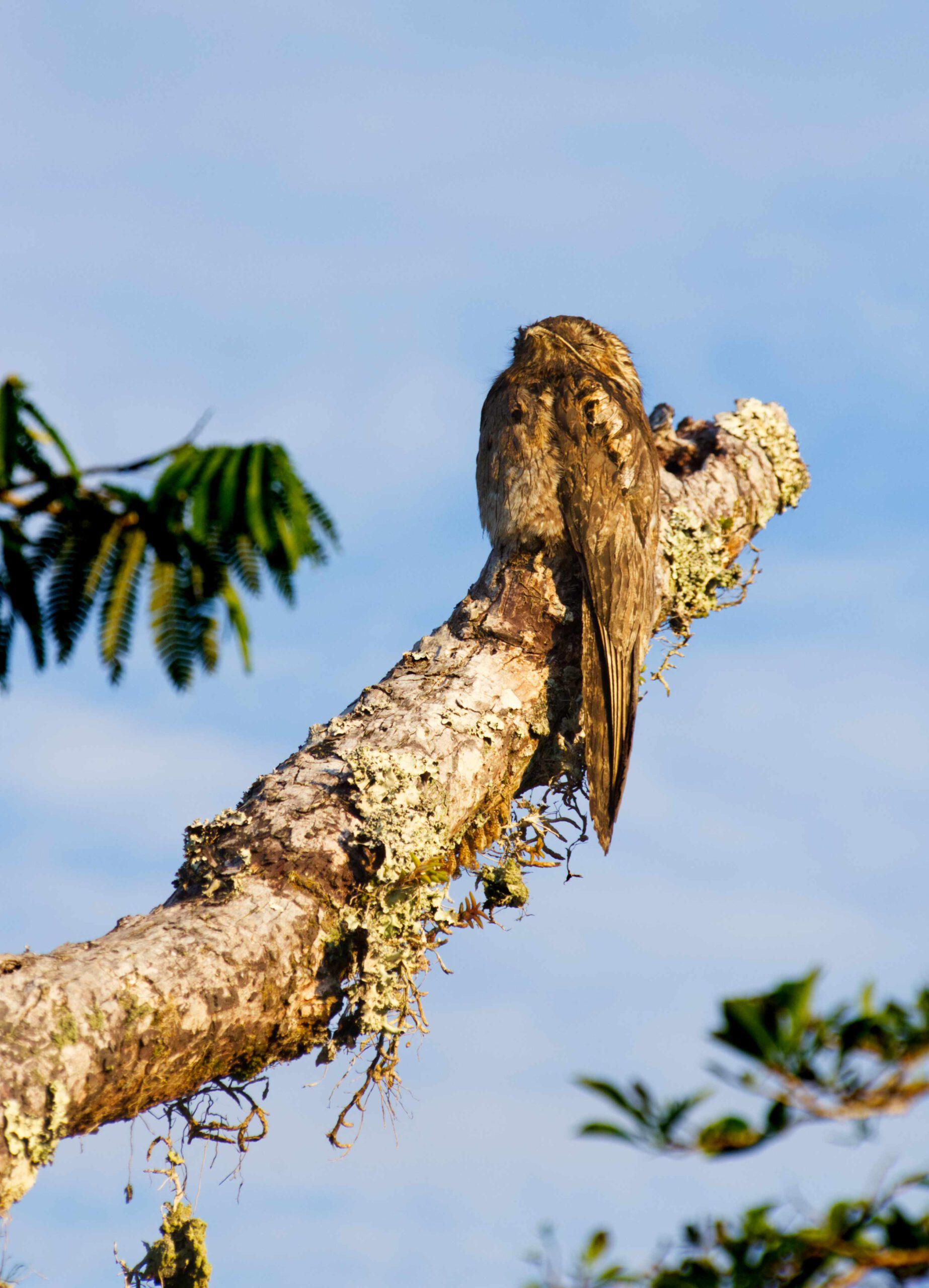 Lifestyle Ecuador: Eine Eule in Ecuador, Cuyabeno Naturparadies