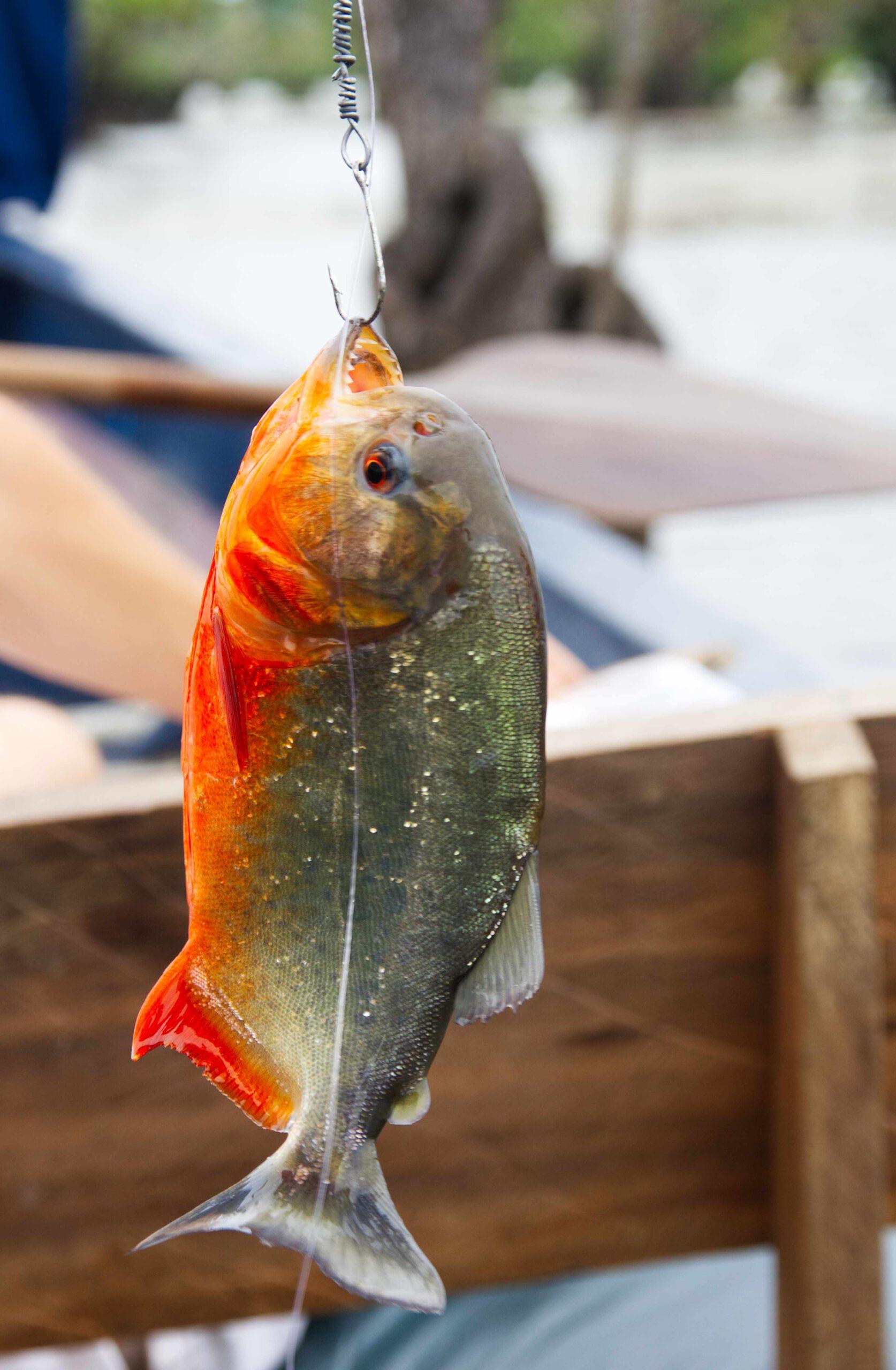 roter Piranha am Angelhaken, Cuyabeno Ecuador, Piranha fischen
