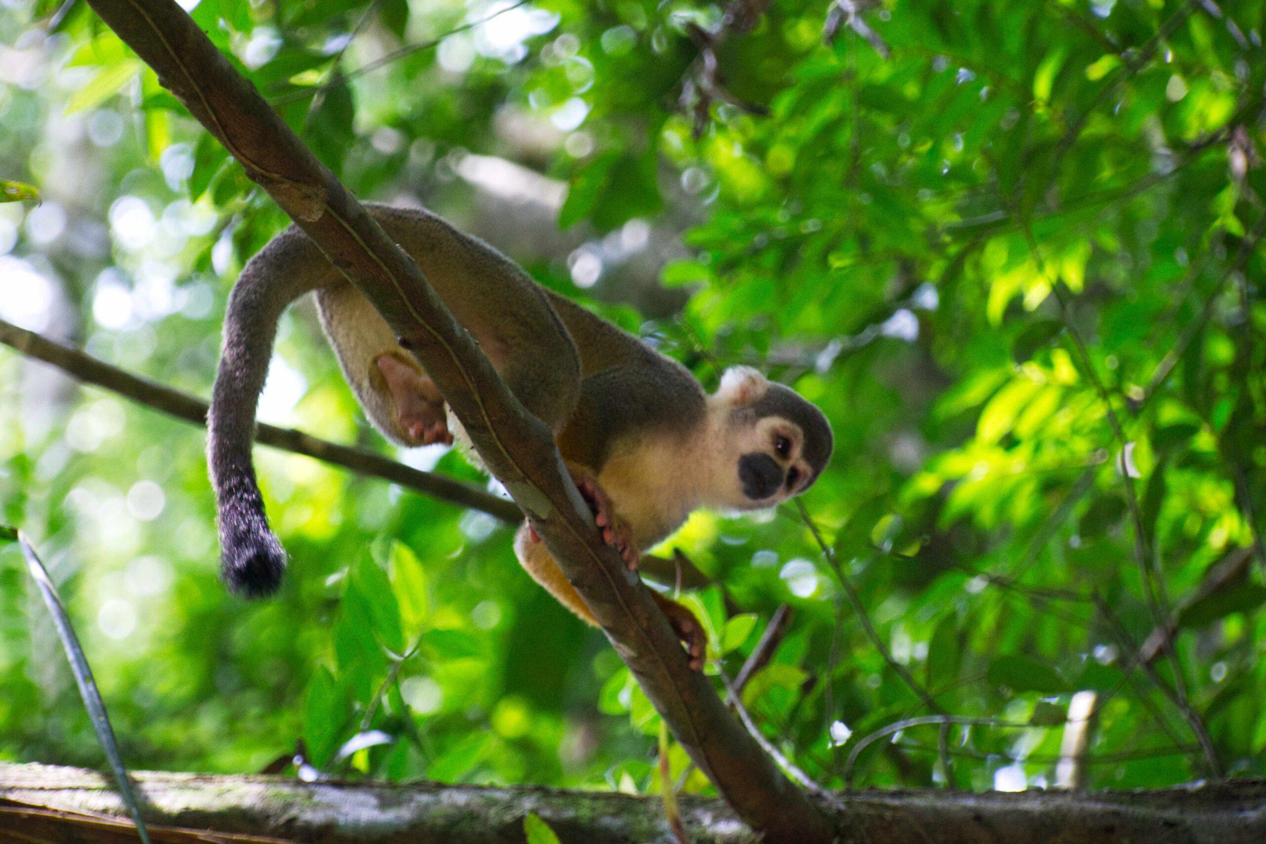 Lifestyle Ecuador: Totenkopfäffchen Cuyabeno Ecuador